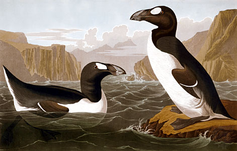 Audubon's Great Auk